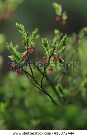 Vaccinium myrtillus - bilberry, blueberry - in bloom  - stock photo