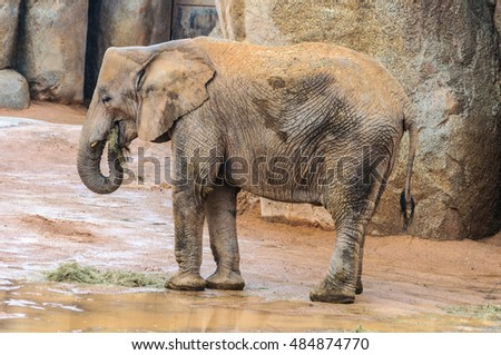 VALENCIA, SPAIN - MARCH 21, 2015: Elephant in an animal-friendly zoo in Valencia, Spain