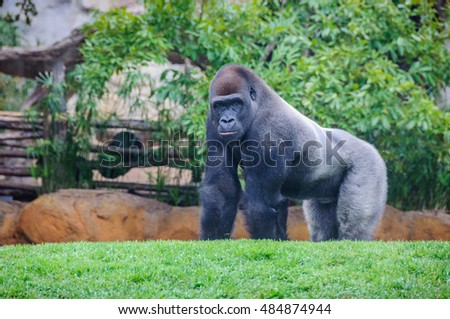 VALENCIA, SPAIN - MARCH 21, 2015: Gorilla in an animal-friendly zoo in Valencia, Spain