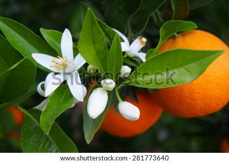 Valencian orange and orange blossoms - stock photo