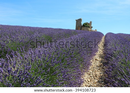 VALENSOLE, FRANCE - JULY 2015: a panoramic view of a blooming lavender field in Provence.