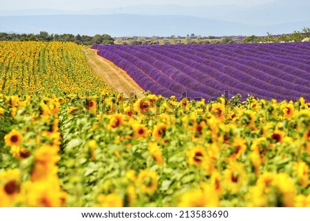 Valensole sunflower and lavender