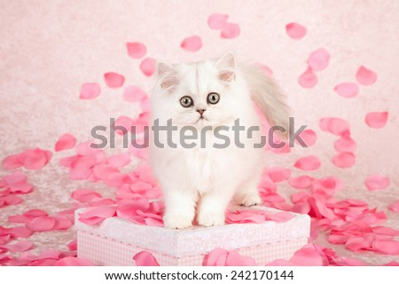 Valentine Chinchilla kitten standing on pink gift box with silk pink rose petals on light pink background  - stock photo