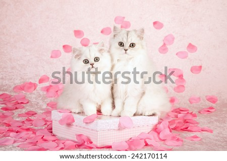 Valentine Chinchilla kittens sitting on pink gift box with silk pink rose petals on light pink background
