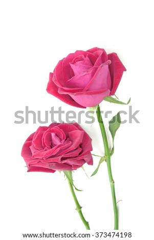 valentine gift of pink roses isolated white - stock photo