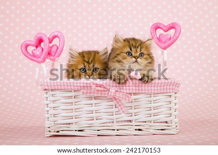 Valentine Golden Chinchilla Persian kittens sitting inside white gift basket with Valentine ornamental hearts on light pink background