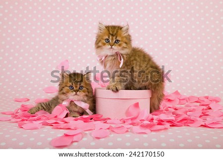 Valentine Golden Chinchilla Persian kittens with light pink gift box and pink silk rose petals on light pink background