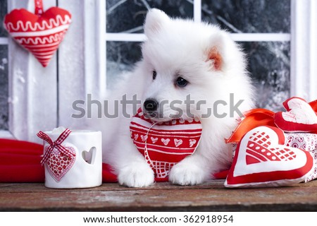 valentine havanese puppy dog with a red heart - stock photo