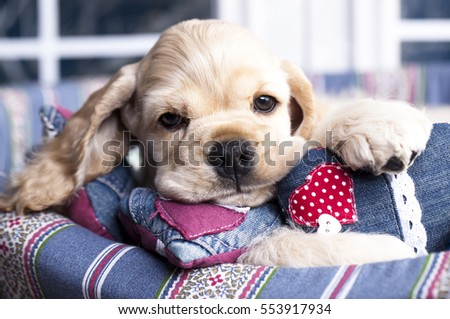 valentine havanese puppy  with a red heart