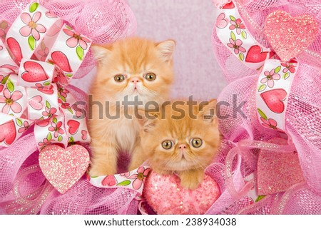 Valentine Persian kitten and Exotic kitten sitting inside pink Valentine wreath on pink background  - stock photo