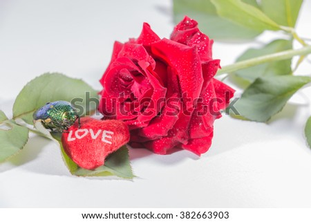 Valentine red roses close up