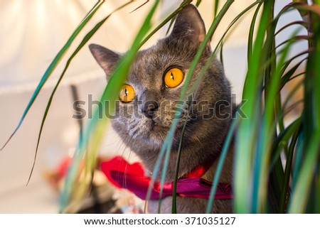 Valentine's Day British cat in a burgundy bow tie looks out communication dracaena.