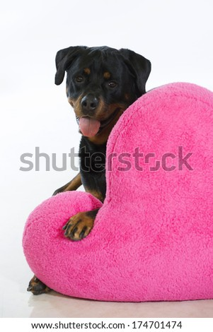 Valentine's Day rottweiler dog peeks out from behind a very large pink heart-shaped pillow - stock photo