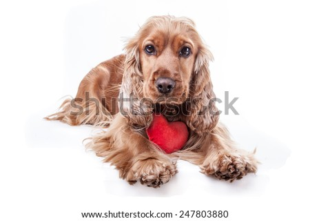 valentine's day spaniel with red heart isolated on white background - stock photo
