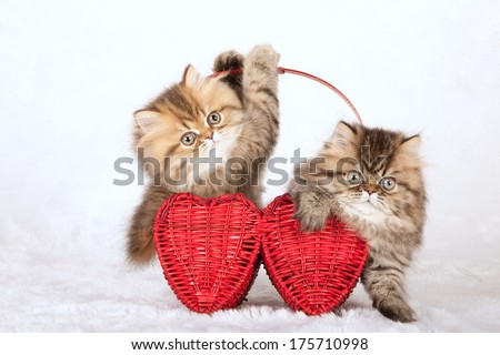 Valentine theme Golden Chinchilla Persian kittens sitting inside red heart shaped basket on white fake fur background - stock photo