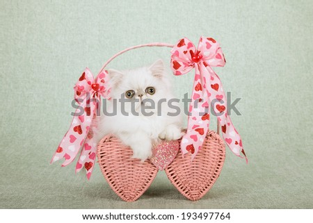 Valentine theme Silver Chinchilla kitten sitting inside pink heart shaped basket decorated with ribbons and bows on light green background  - stock photo