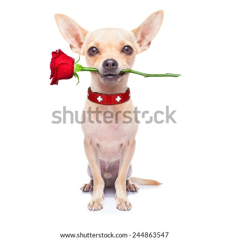 valentines chihuahua dog, one rose in mouth ,  isolated on white background