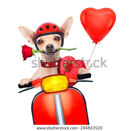 valentines chihuahua dog with rose in mouth driving a motorbike vespa roller - stock photo
