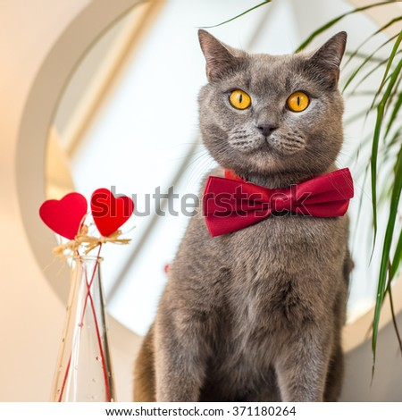 Valentines Day Closeup portrait of cat in a red bow tie sitting near a mirror