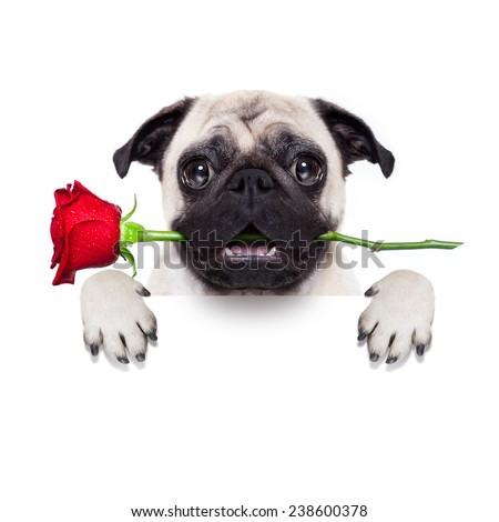 valentines dog in love with you ,  with a red rose in mouth , isolated on white background,behind banner - stock photo