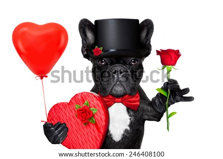 valentines french bulldog dog holding a present box , a balloon and  a  red rose , isolated on white background - stock photo