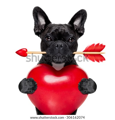 valentines french bulldog dog in love holding a cupids arrow with mouth and holding a big heart, isolated on white background - stock photo