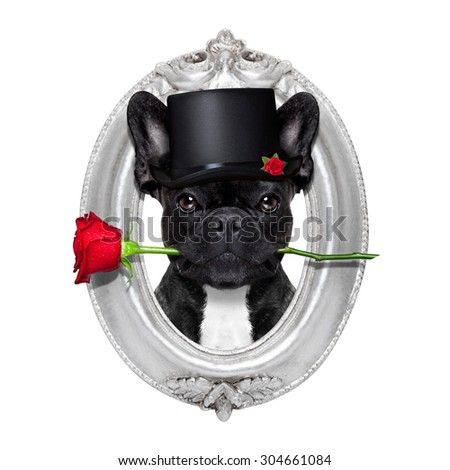 valentines  french bulldog dog in love holding a rose with mouth , isolated on white background inside a frame of silver wood - stock photo