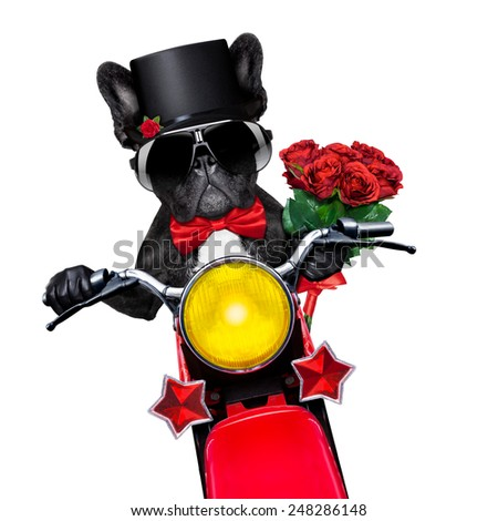 valentines french bulldog dog , riding a motorbike , holding a bunch of red roses, isolated on white background - stock photo