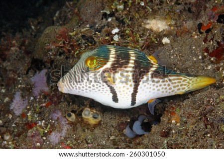 Valentines Pufferfish, Canthigaster valentini. Also known as a Black Saddled Pufferfish or Toby.Tulamben, Bali, Indonesia. Bali Sea, Indian Ocean - stock photo