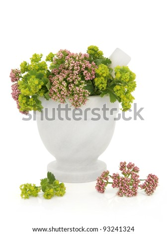 Valerian and ladies mantle herb flower sprigs in a marble mortar with pestle with scattered flowers isolated over white background. Valeriana and alchemilla. - stock photo