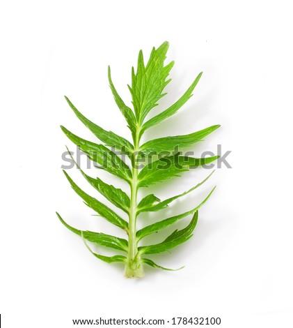 Valerian herb leaf isolated on white background  - stock photo