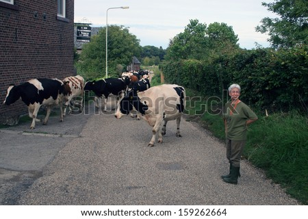 VALKENBURG, THE NETHERLANDS -SEPTEMBER 10,2011: farmer brings cows to the stable on september 10,2013 in Valkenburg, The netherlands.