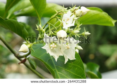 Vallaris glabra Kuntz or bread flower is a woody climber plant. - stock photo