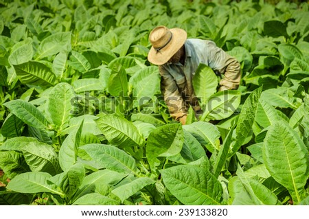 Valle de Vinales, CUBA - JANUARY 19, 2013: Man working  on Cuba tobacco plantation in Vinales Valley ,CUBA.Traditional techniques are still in use for agricultural production, particularly of tobacco. - stock photo