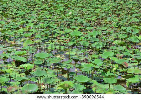 Valley of lotuses. Lotus grows in the lake. Asian Lotus. Oriental Lotus. Lotus flower. Lotus pond. Symbol of Buddhism. Relic. Ancient flower. Biological additive. Bud. - stock photo