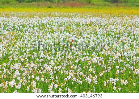 Valley of Narcissi in Khust, Ukraine - in may there are dandelions and narcissuses