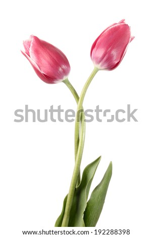 Valse of flowers. Two tulip isolated on a white background - stock photo