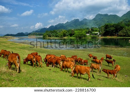 Van Long, Ninh Binh Vietnam, September 28, 2014 Cows grazing on a lovely green pasture. Van Long is the Delta region's largest wetland nature conservation areas Tonkin - stock photo