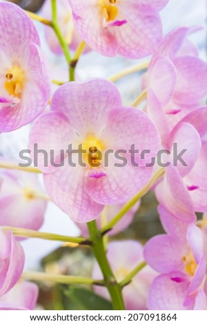 Vanda is a genus in the orchid family (Orchidaceae) which, although not large (about fifty species), is one of the most important florally.  - stock photo