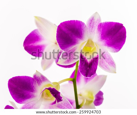 vanda orchid on white background