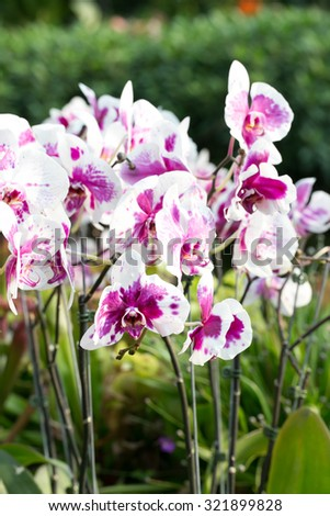 Vanda Orchid Wanda - Queen of orchids. Found in the tropics of India, Indonesia, the Philippines, southern China and Northern Australia. - stock photo