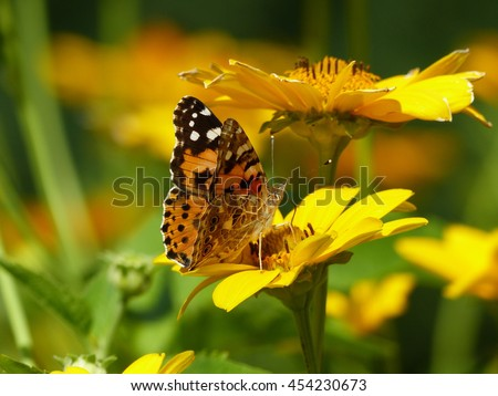 Vanessa cardui  (Nymphalidae family)  on a yellow flower.
