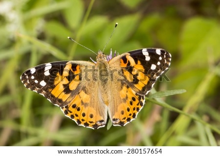 Vanessa cardui, Painted Lady butterfly from Lower Saxony, Germany - stock photo