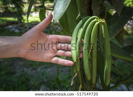 Vanilla plant and green pods in the plantation