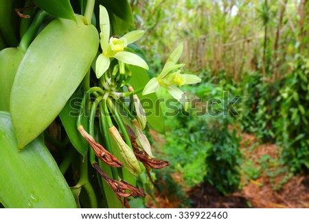 Vanilla plantation on Reunion Island. Agriculture in tropical climate. - stock photo