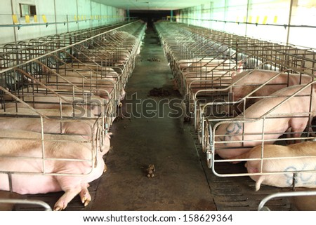 Vanish view of Inside of Big breeding pig farm  - stock photo