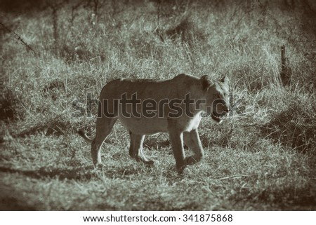 Vanishing Africa:African lioness in the Hlane National Park, Swaziland - stock photo