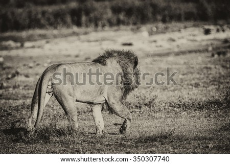 Vanishing Africa: Vanishing Africa: vintage style image of a lion in the early morning lights in the Ngorongoro Crater, Tanzania - stock photo