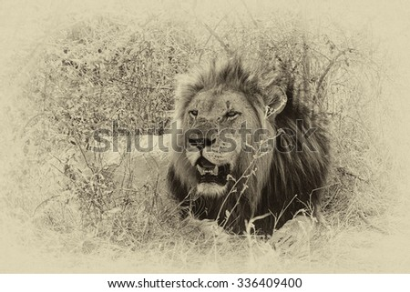 Vanishing Africa: Vintage style image of an African lion in Hlane National Park, Swaziland - stock photo