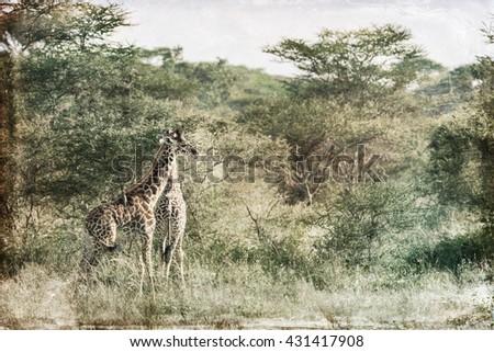 Vanishing Africa: vintage style image of two Giraffes in the Serengeti National Park, Tanzania - stock photo